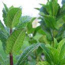Fűszernövények, olajok fogyókúrához