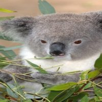 Gyermek allergiás reakciója Eukaliptusz illóolajára